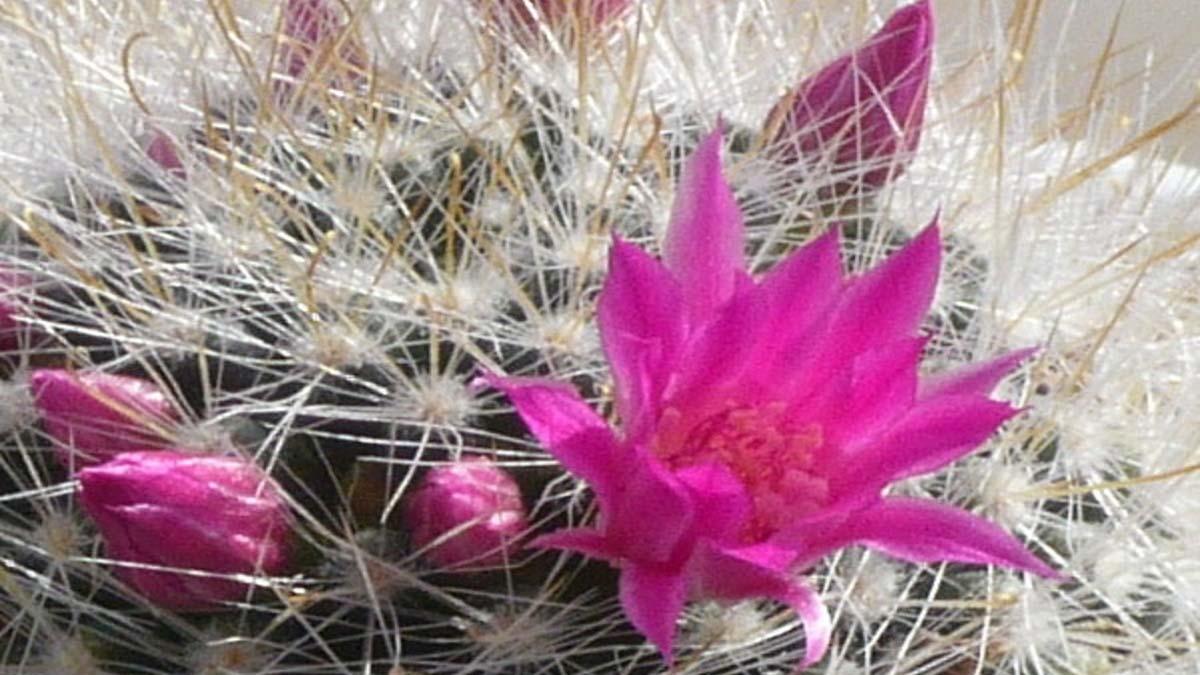 Die Blüte des Kaktus